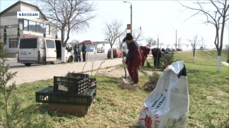 plantare copaci Navodari